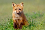Fototapety Curious Fox Kit