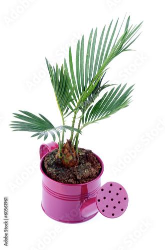 Papiers peints Palmier Little Palm Chrysalidocarpus Areca