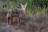 Black Backed Jackal
