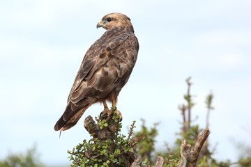 Steppe Buzzard Bird of Prey