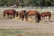 horses eat hay on farm