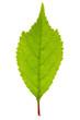 Sakura leaf isolated