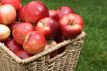 Apple variety Malus domestica Discovery at harvest time