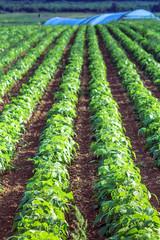 Landschaft mit Kartoffelfeld im Sommer