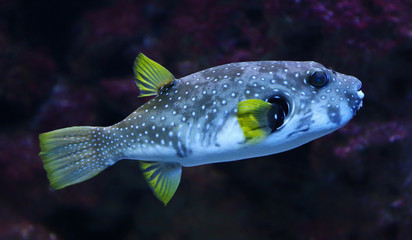 White-spotted puffer (Arothron hispidus)