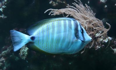 Close-up view of a Sailfin tang (Zebrasoma veliferum)