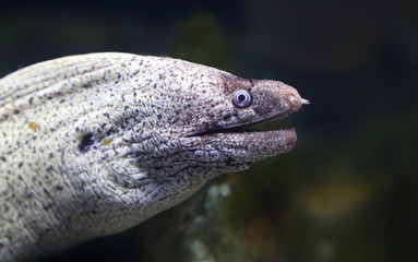 Close-up view of a Mediterranean moray