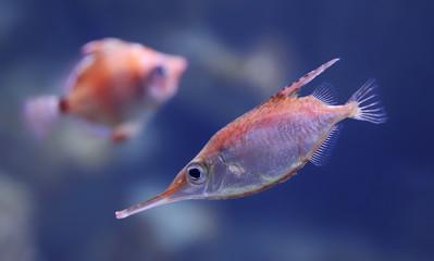 Longspine snipefish (Macroramphosus scolopax)