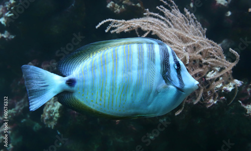 Close-up view of a Sailfin tang (Zebrasoma veliferum)