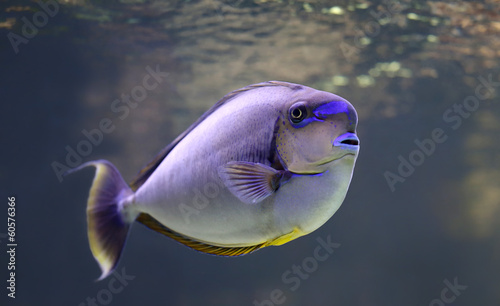 Close-up view of a bignose unicornfish
