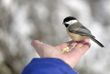 The Black-capped Chickadee
