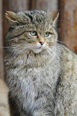 Wildkatze Porträt