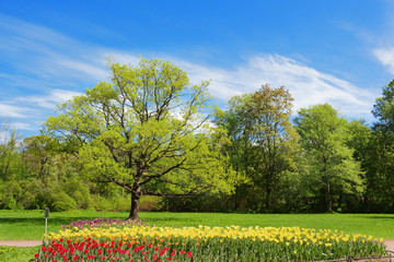 Oak and bed with tulips in spring park,  Petersburg, Russia