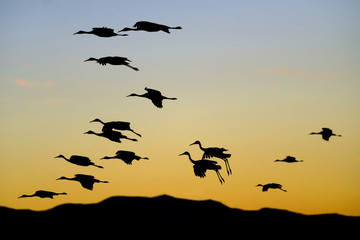 Flock of Cranes at Sunset .
