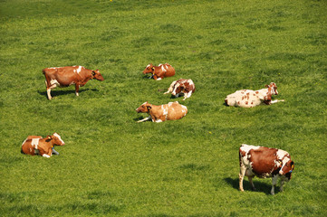 Herd of cattle on a scenic Alpine meadow. Emmental, Switzerland