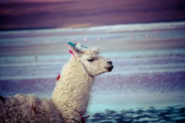 Lama on the Laguna Colorada, Bolivia
