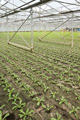 Planting new young andive plants in glasshouse
