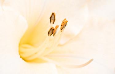 Close up daylily flower stamen