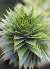 Green foliage closeup of araucaria