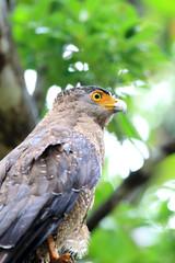 Ryukyu Crested serpent eagle