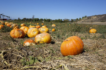 Ripe Orange Pumpkins, Ventura county, CA