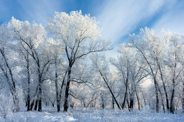 trees covered with white frost