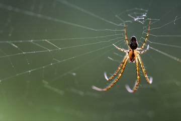 web pisauridae pisaura