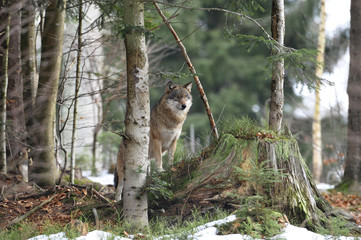 Wolf Ausblick