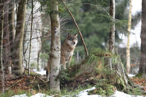 Fotobehang Wolf Wolf Ausblick
