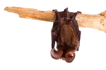 bat close up on a white background