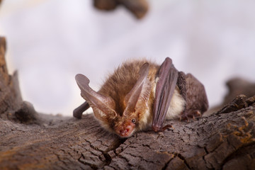 bat close up on a bark background
