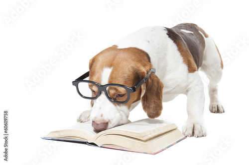 Beagle in glasses