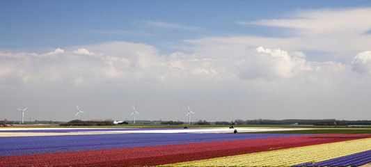 Colorful hyacinth fields in north holland