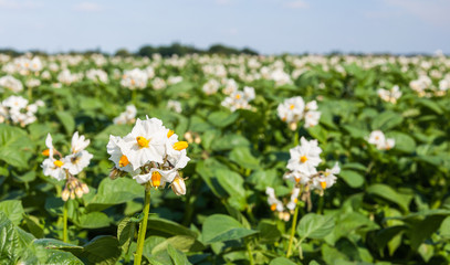 Closeup of blooming potato plants