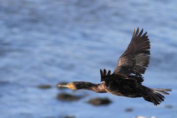 Cormorant flight