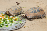 Big Seychelles turtle eat