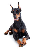 Doberman isolated on white background.