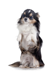 Chihuahua standing up, isolated on white background