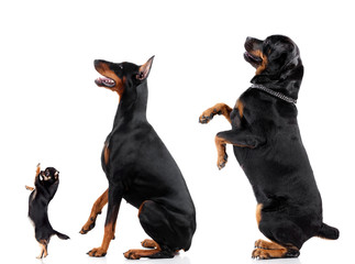 Group of black dogs isolated on white.