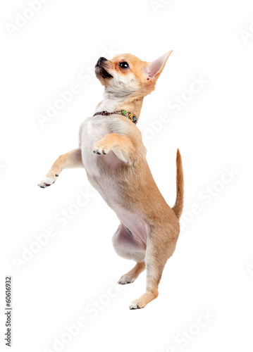 Chihuahua jumping, isolated on white background