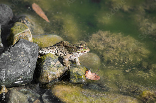 Frog on a river side