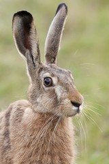 Hare in the wild, portrait.