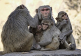 India, Jaipur, indian monkeys at the Sun Temple