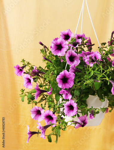 Purple petunia in flowerpot on cloth background
