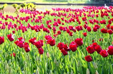 Beautiful field of vivid red tulips