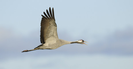 Common crane in flight
