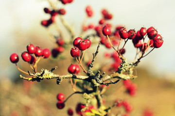 hawthorn berries background