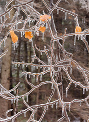 Ice covered tree branches after an ice storm.