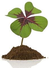 trèfle porte-bonheur à quatre feuilles
