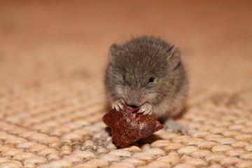 маленький серый мышонок есть крошку хлеба